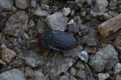 Schwarze Aaskäfer (Phosphuga atrata)