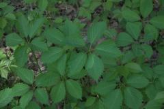 Blätter der Gewöhnlichen Jungfernrebe (Parthenocissus inserta)