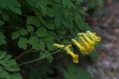 Gelber Lerchensporn (Pseudofumaria lutea)