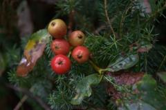 Zwerg-Mehlbeere (Sorbus chamaemespilus)
