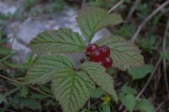 Steinbeere (Rubus saxatilis)