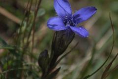 Fransenenzian (Gentianella ciliata)