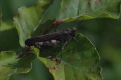 Rotflügelige Schnarrschrecke (Psophus stridulus) M