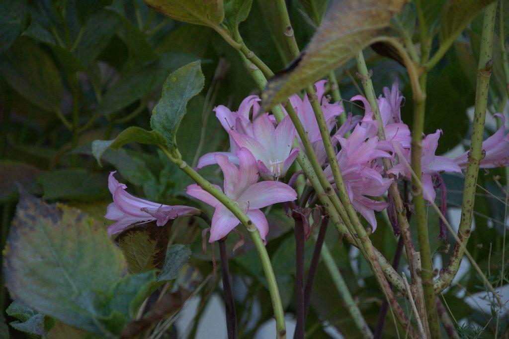 DSC_2877_Belladonna-Lilie (Amaryllis belladonna)