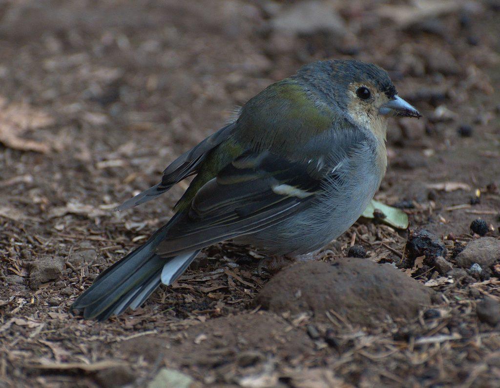 DSC_3157_Madeira-Buchfink (Fringilla coelebs subsp. madeirensis)