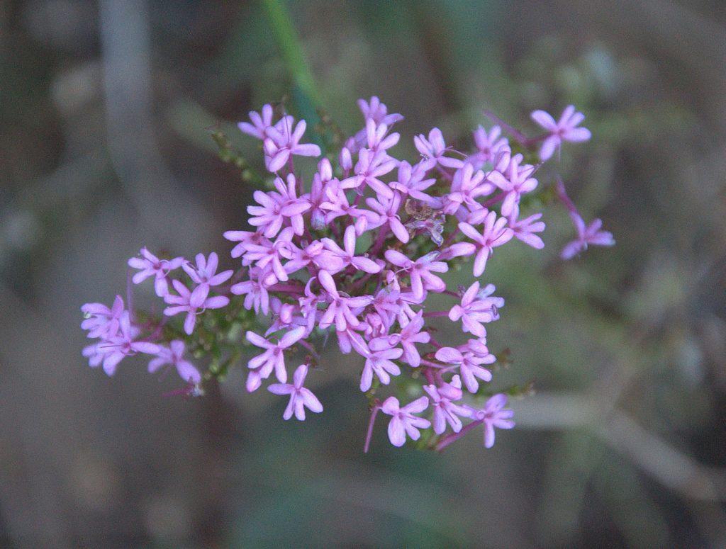 DSC_3265_Rote Spornblume (Centranthus ruber)