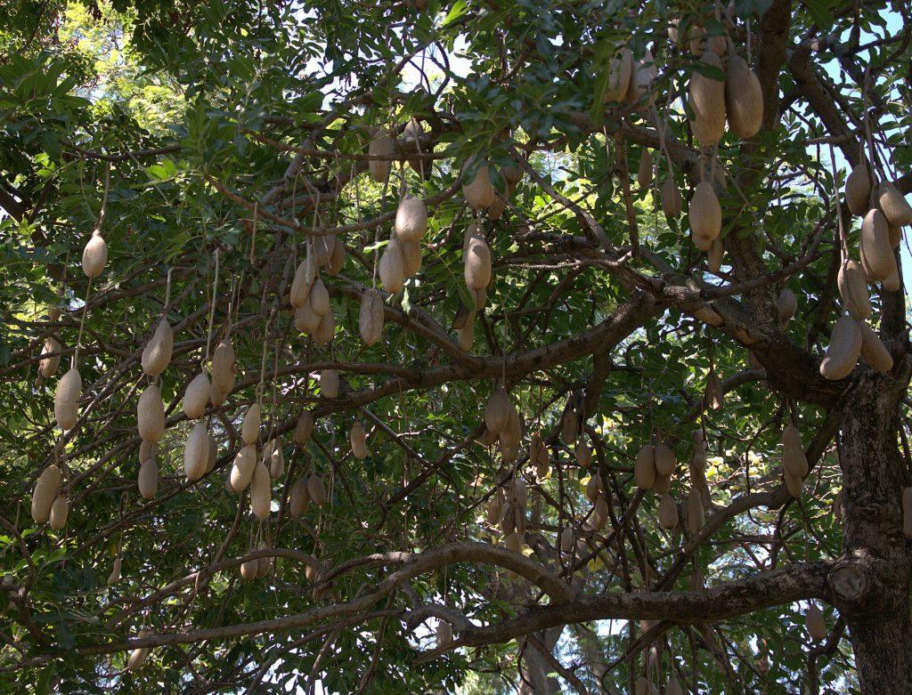 DSC_3591_Leberwurstbaum (Kigelia africana) -1