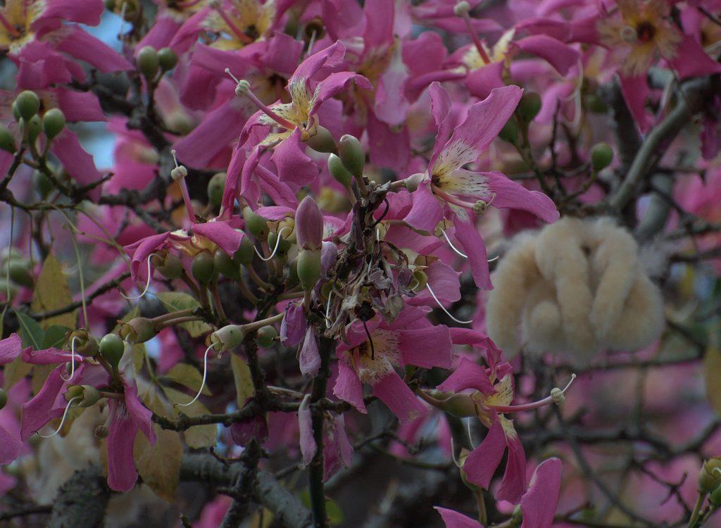 DSC_3639_Florett-Seidenbaum (Ceiba speciosa)