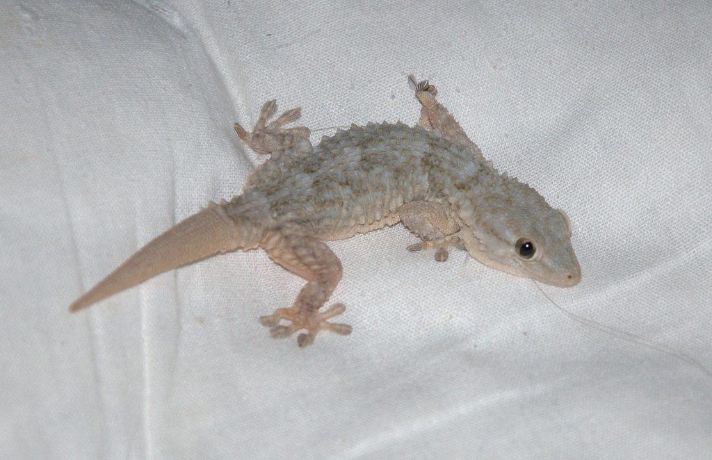 Mauergecko (Tarentola mauritanica)