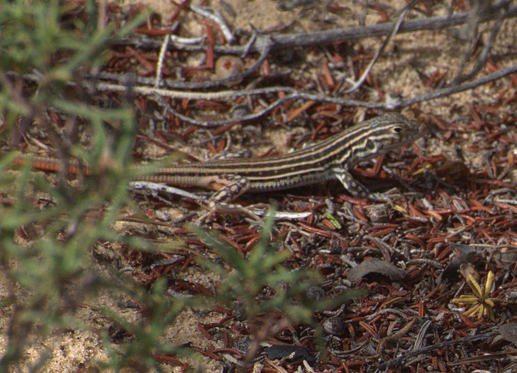 Europäischer Fransenfinger (Acanthodactylus erythrurus)
