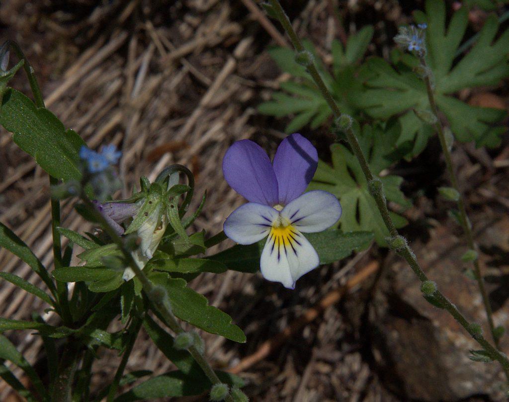 Gewöhnliches Stiefmütterchen (Viola tricolor)