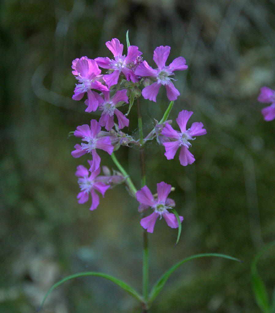 Pechnelke (Silene viscaria)
