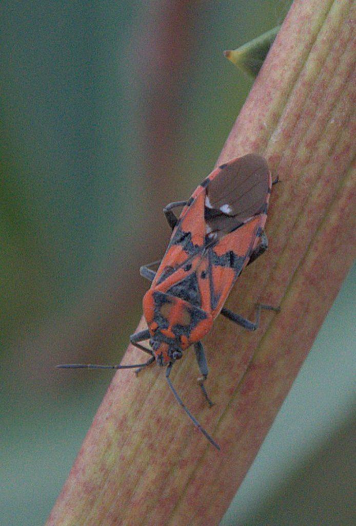 Pandur (Spilostethus pandurus)