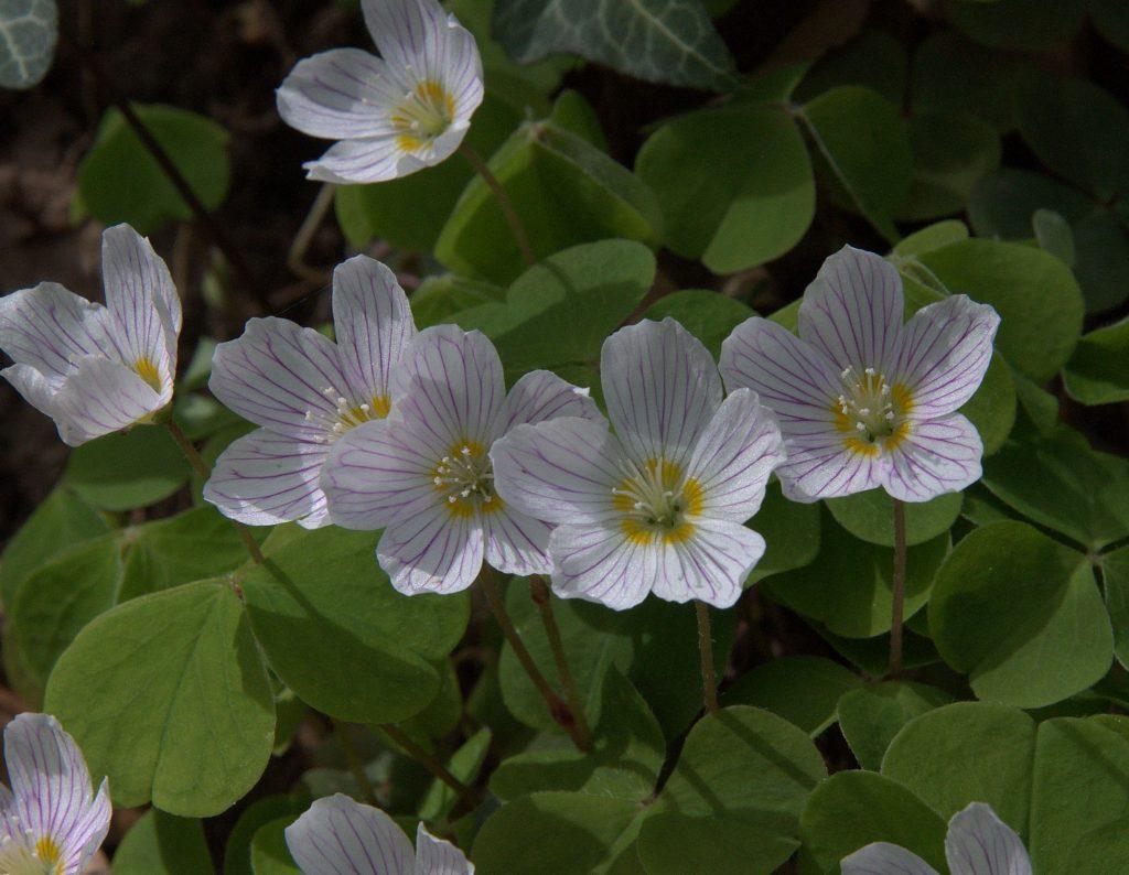 Waldsauerklee (Oxalis acetosella)