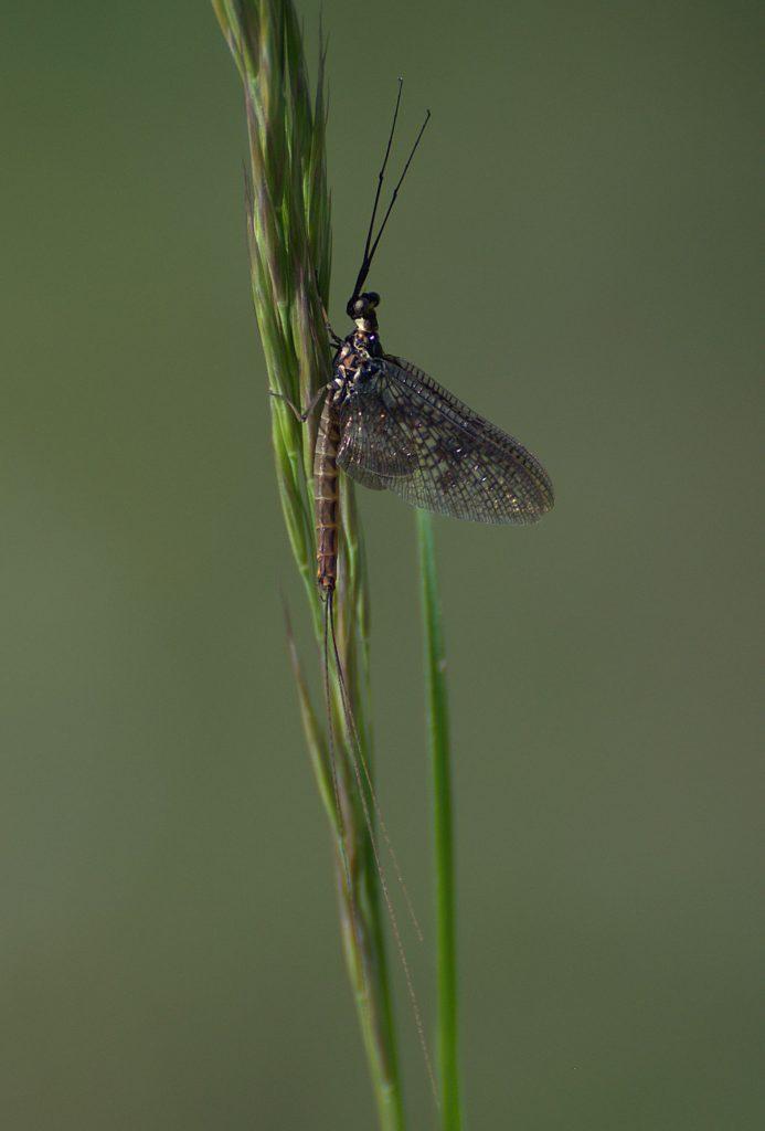 Eintagsfliege (unbestimmt) (Ephemeroptera indet.)