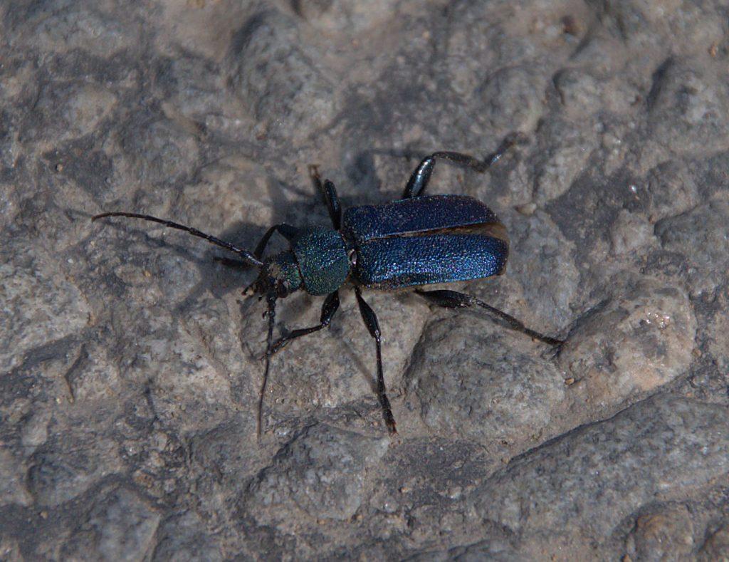 Blauvioletter Scheibenbock (Callidium violaceum)