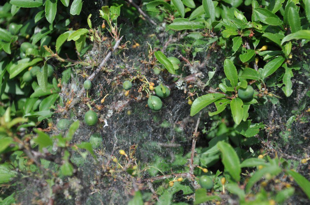 Pflaumen-Gespinstmotte (Yponomeuta padella)