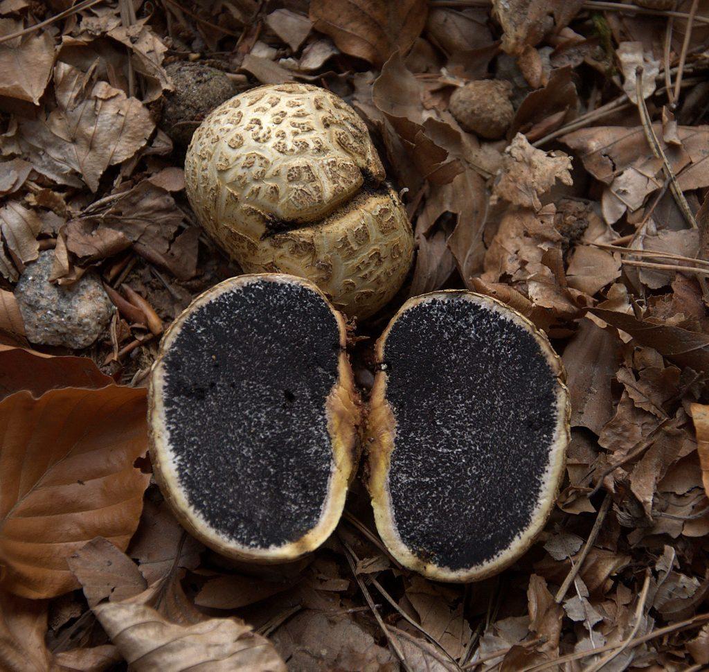 Dickschaliger Kartoffelbovist (Scleroderma citrinum)