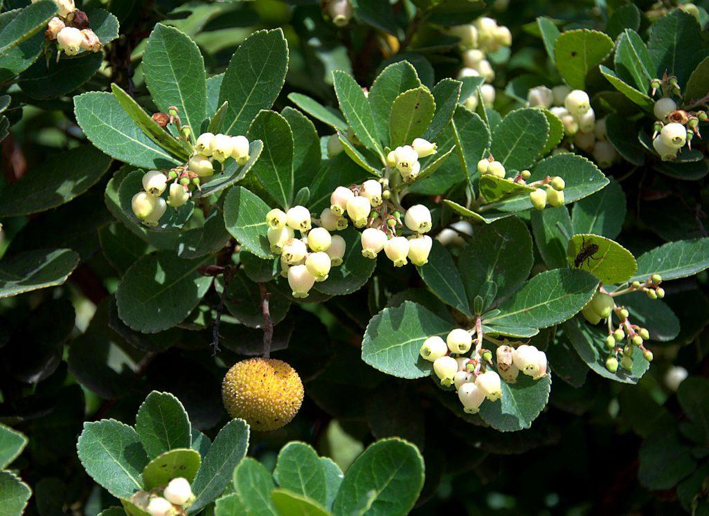 DSC_1466_Westlicher Erdbeerbaum (Arbutus unedo) -1