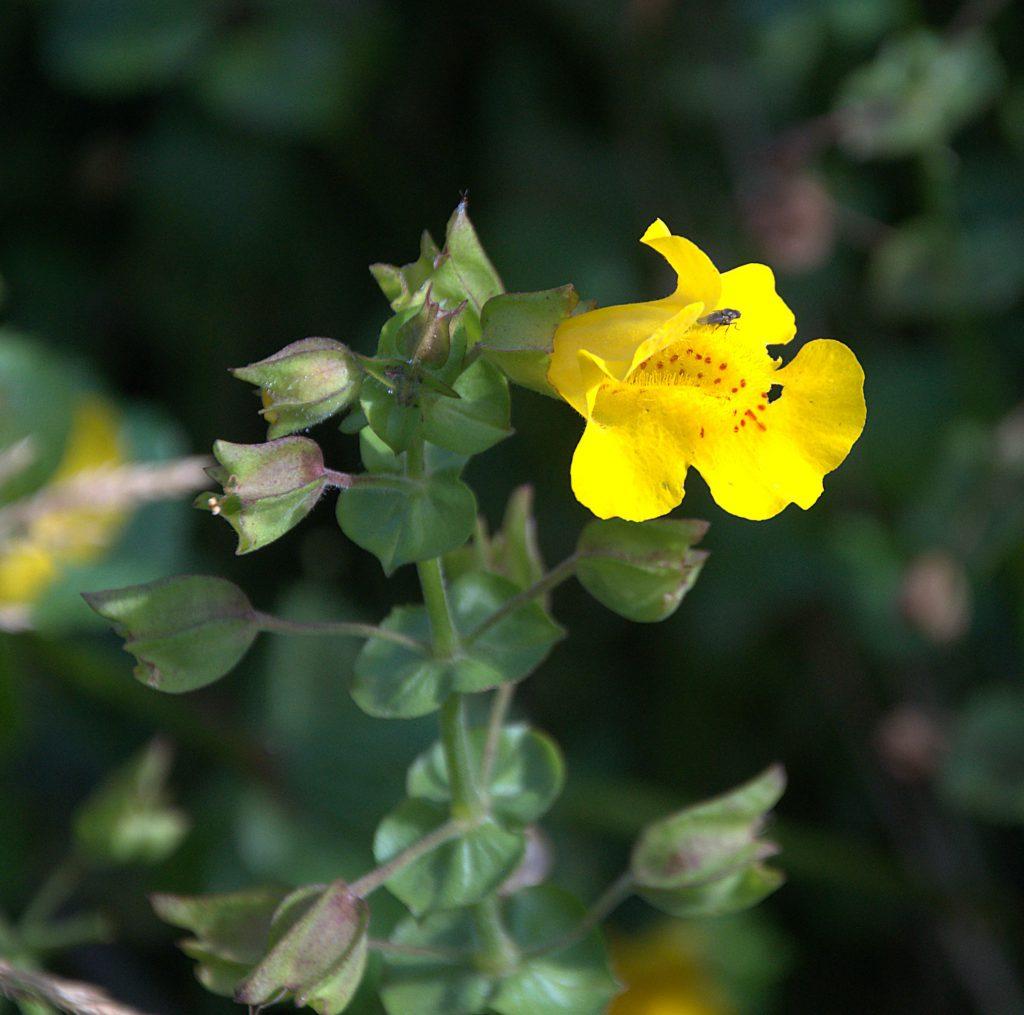 DSC_1075_Gefleckte Gauklerblume (Mimulus guttatus)