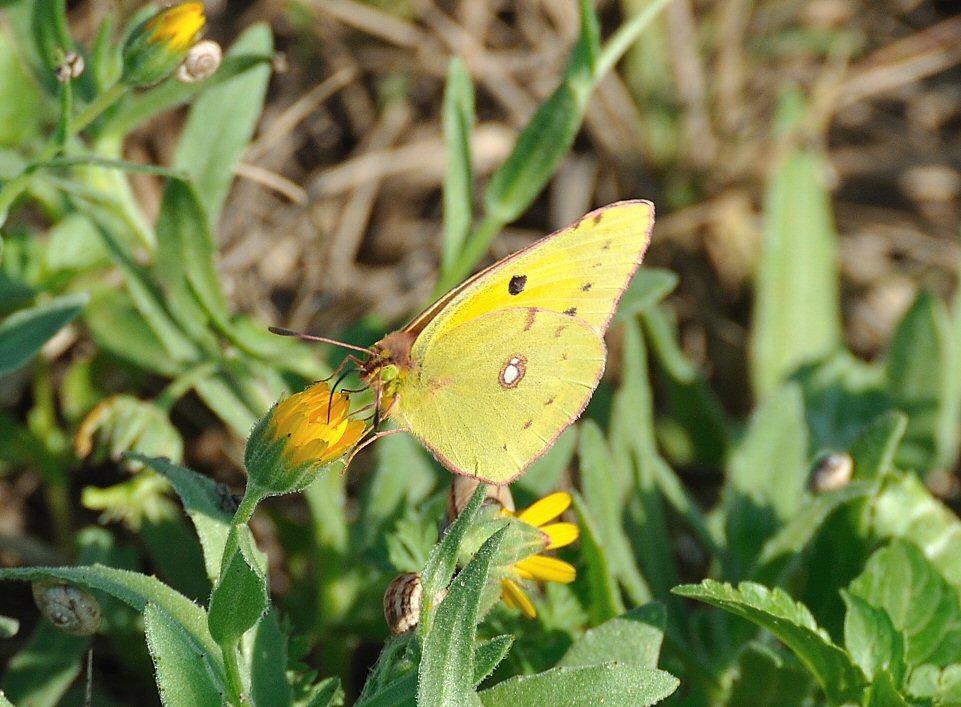 DSC_3560_Wandergelbling (Colias croceus)