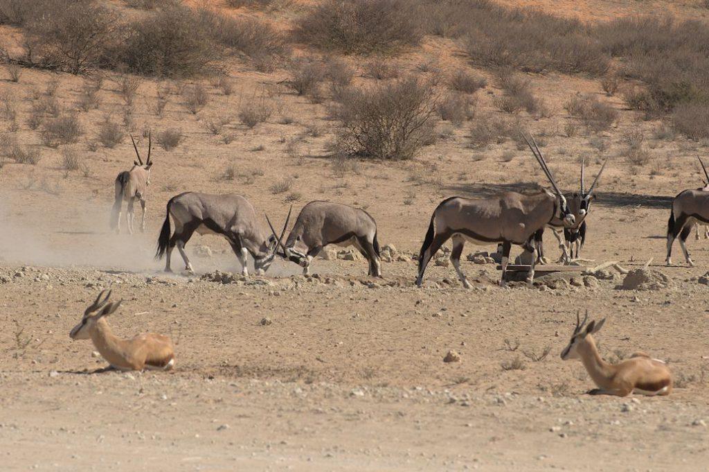 Spiessbock (Oryx gazella)