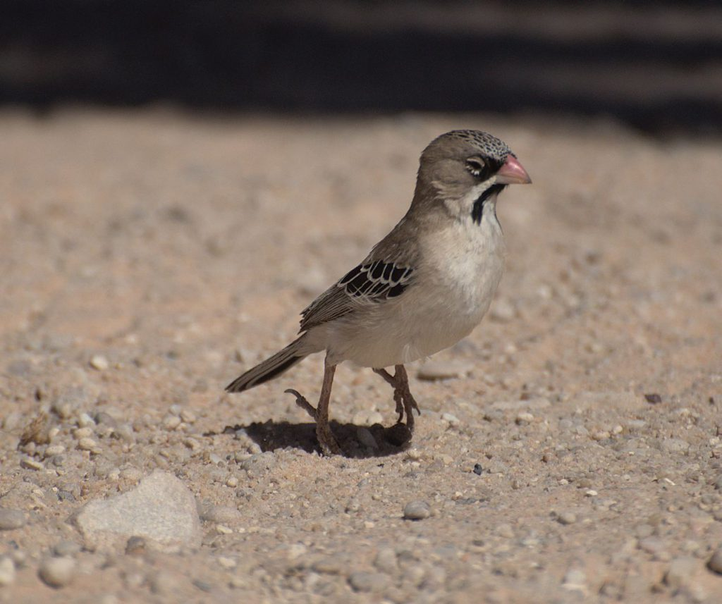Schnurrbartweber (Sporopipes squamifrons)