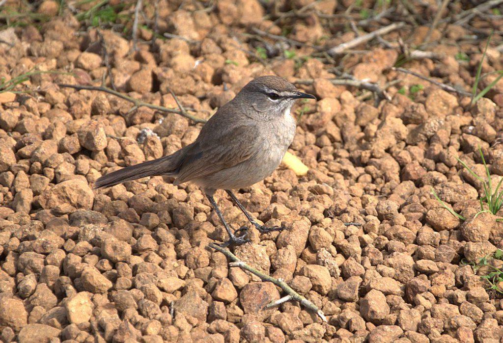 Karooheckensänger (Tychaedon coryphoeus)