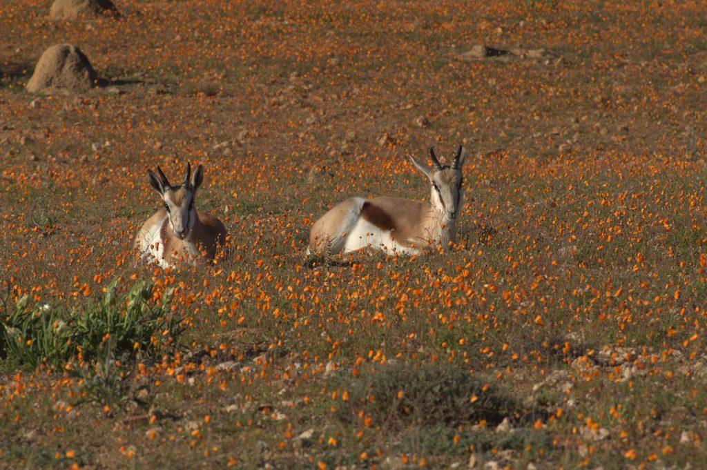 Springbock (Antidorcas marsupialis)