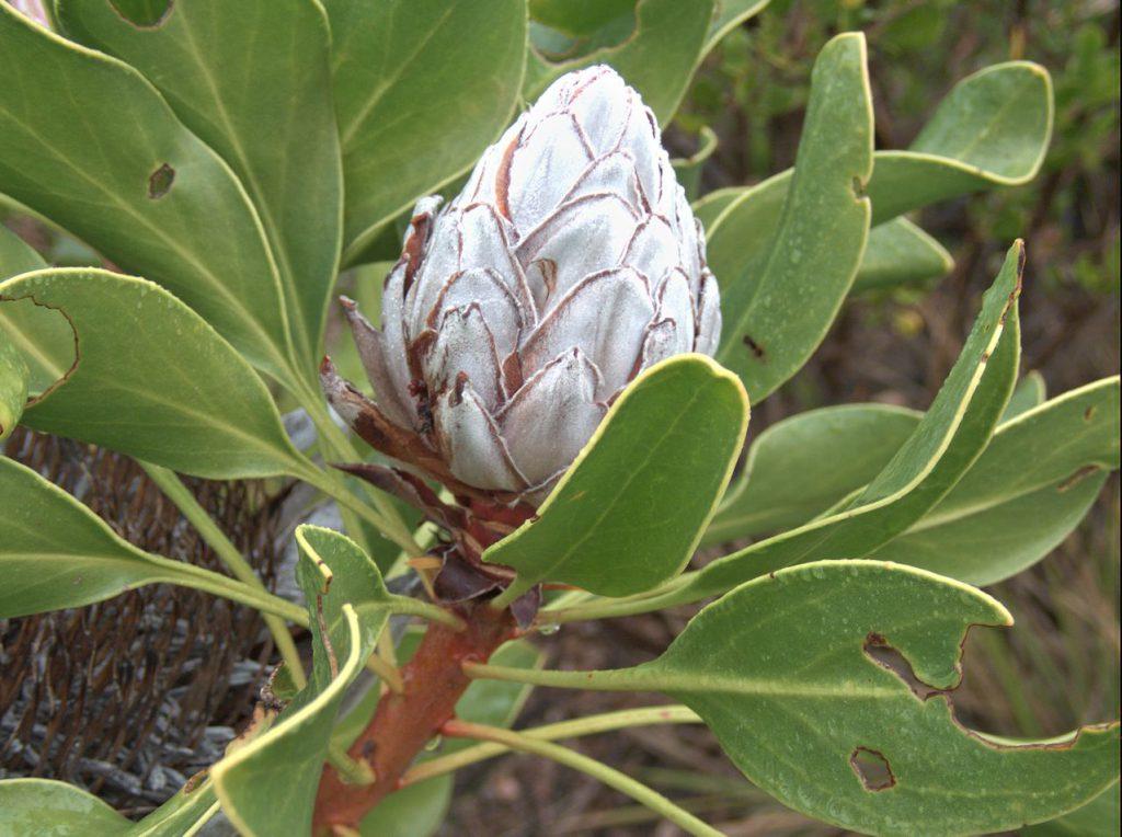 Wilde Königsprotea (Protea cynaroides)