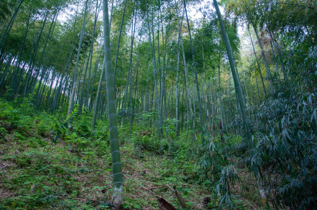 Moso Bambus (Phyllostachys edulis)